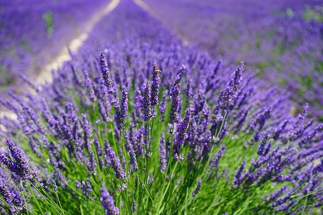 fialové kytky
