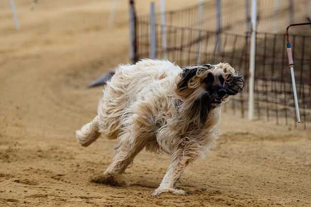 psí běh