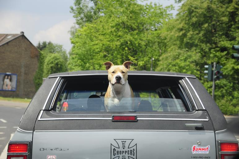Pes sedí v kufri auta a pozerá von cez okno.jpg